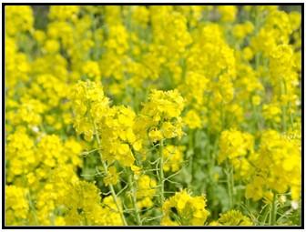 菜の花の画像